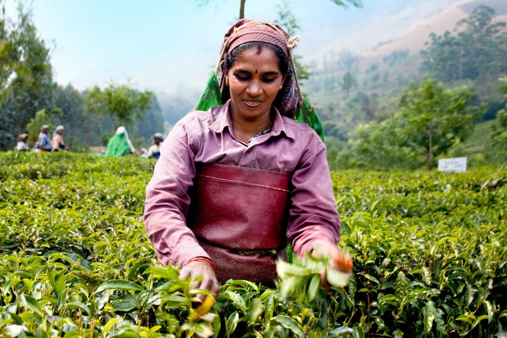 Tea Plantation Kerala - image by Aleksandar_Todorov